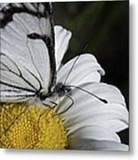 Pine White Butterfly Metal Print