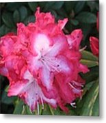 Pink Rhododendron Metal Print