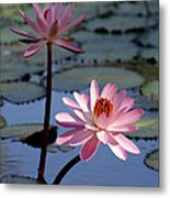 Pink Water Lily In The Spotlight Metal Print
