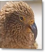 Portrait Of Nz Alpine Parrot Kea Nestor Notabilis Metal Print