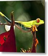 Red Eyed Tree Frog 1 Metal Print