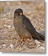 Red Footed Falcon Falco Vespertinus Metal Print
