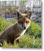 Red Fox Kit Metal Print
