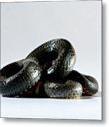 Ringneck Snake Diadophis Punctatus Metal Print