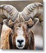 Rocky Mountain Big Horned Sheep Metal Print