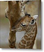 Rothschild Giraffe And Calf Metal Print