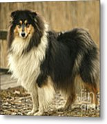 Rough Collie Dog Metal Print