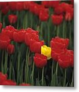 Rows Of Red Tulips With One Yellow Tulip Metal Print