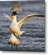 Royal Terns Metal Print