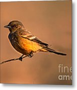 Say's Phoebe Metal Print by Robert Bales
