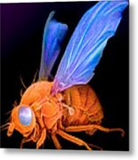 Sem Of A Fly Drosophila Metal Print