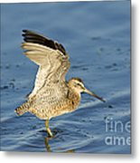 Short-billed Dowitcher Metal Print