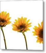 Small Sunflowers Or Helianthus Metal Print