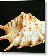 Spider Conch Metal Print