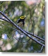 Spring Black-throated Green Warbler Metal Print