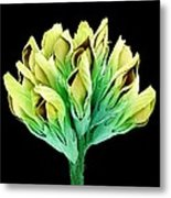 Suckling Clover (trifolium Dubium), Sem Metal Print
