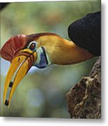Sulawesi Red-knobbed Hornbill Male Metal Print