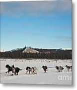 Team Of Sleigh Dogs Pulling Metal Print