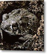 Texas Toad Metal Print