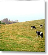 The Cows Of Dunnottar Castle Metal Print