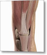 The Muscles Of The Knee Metal Print