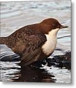 The White-throated Dipper Metal Print