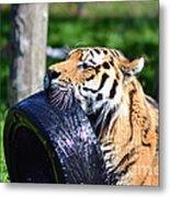 Tiger Playing Metal Print