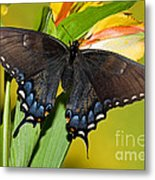 Tiger Swallowtail Butterfly, Dark Phase Metal Print