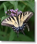 Tiger Swallowtail On Butterfly Bush Metal Print
