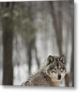 Timber Wolf In Winter Metal Print