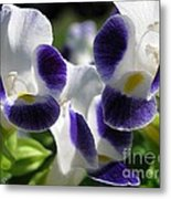 Torenia From The Duchess Mix Metal Print by J McCombie