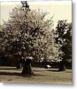 Tree With Large White Flowers Metal Print