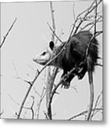 Treed Opossum Metal Print