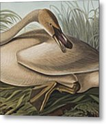 Trumpeter Swan Metal Print
