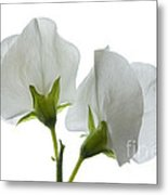 Two White Sweet Peas 2 Metal Print