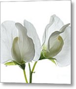 Two White Sweet Peas Metal Print
