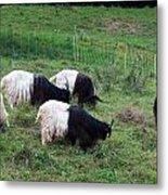 Valais Blackneck Goats Metal Print