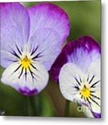 Viola Named Sorbet Lemon Blueberry Swirl Metal Print
