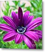 Violet Daisy Metal Print by Stefano Piccini