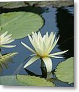 2 Waterlilys Rising Above The Water Metal Print