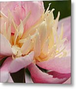 White And Pink Peony Metal Print