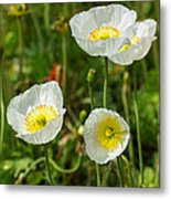 White Iceland Poppy - Beautiful Spring Poppy Flowers In Bloom. Metal Print