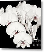 White Orchids On Black Metal Print