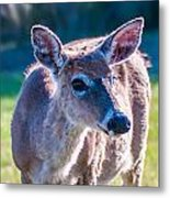 White Tail Deer Bambi In The Wild Metal Print