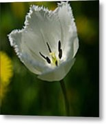 White Tulip On The Green Background Metal Print