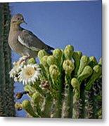 White-winged Dove Atop A Saguaro Metal Print