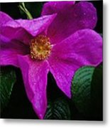 Withered Rose Metal Print