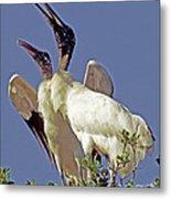 Wood Stork Courtship Display Metal Print