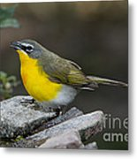 Yellow-breasted Chat Metal Print