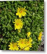 Yellow Ice Plant In Bloom Metal Print